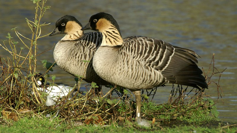 https://upload.wikimedia.org/wikipedia/commons/2/24/Hawaiian_Goose_(Branta_sandvicensis)_(5).JPG