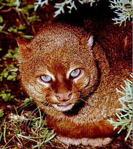 Gulf Coast jaguarundi subspecies of small wild cat native to Central and South America