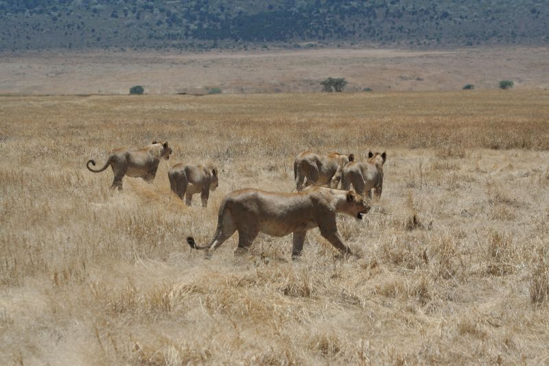 File:Hunting lionesses ngorongoro4.jpg