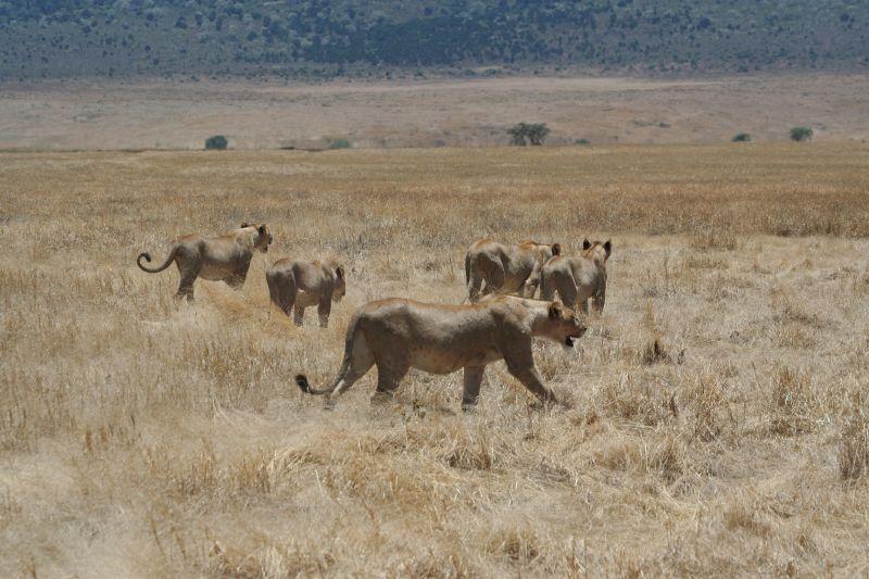 Hunting_lionesses_ngorongoro4.jpg