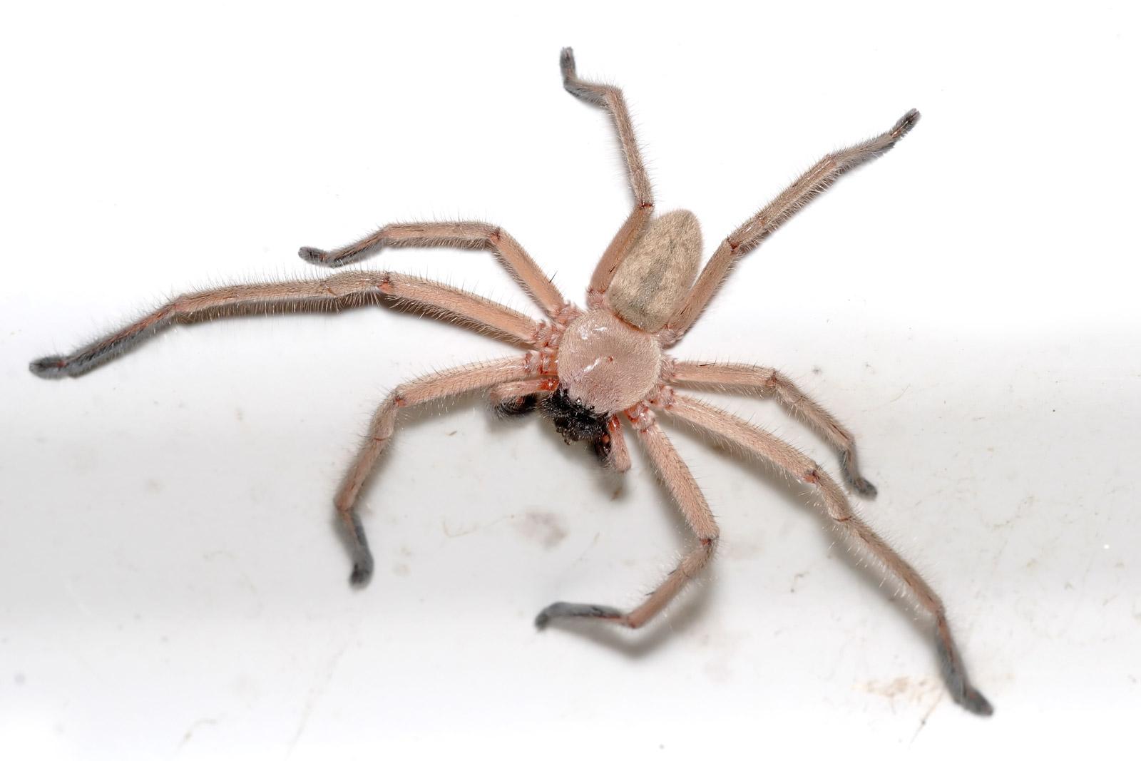 File Huntsman Spider Jan 2007 Jpg Wikimedia Commons