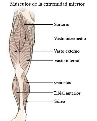 Músculo sartorio - Wikipedia, la enciclopedia libre