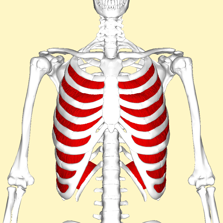 File:Internal intercostal muscles frontal2.png - Wikimedia Commons