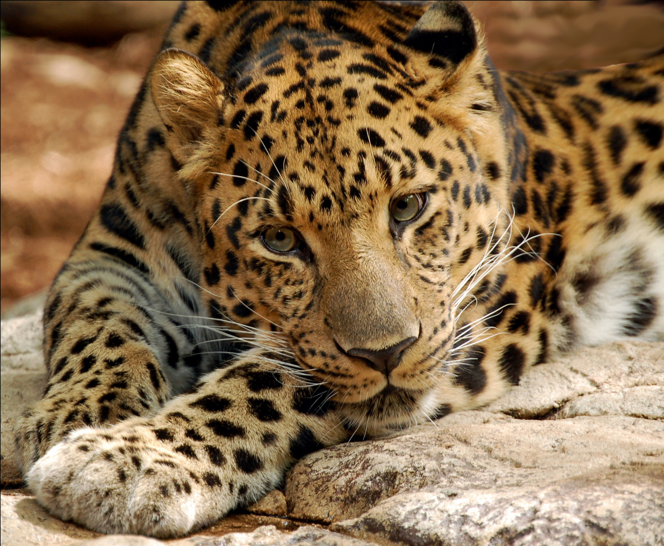 Big Cats Extinct In  Years