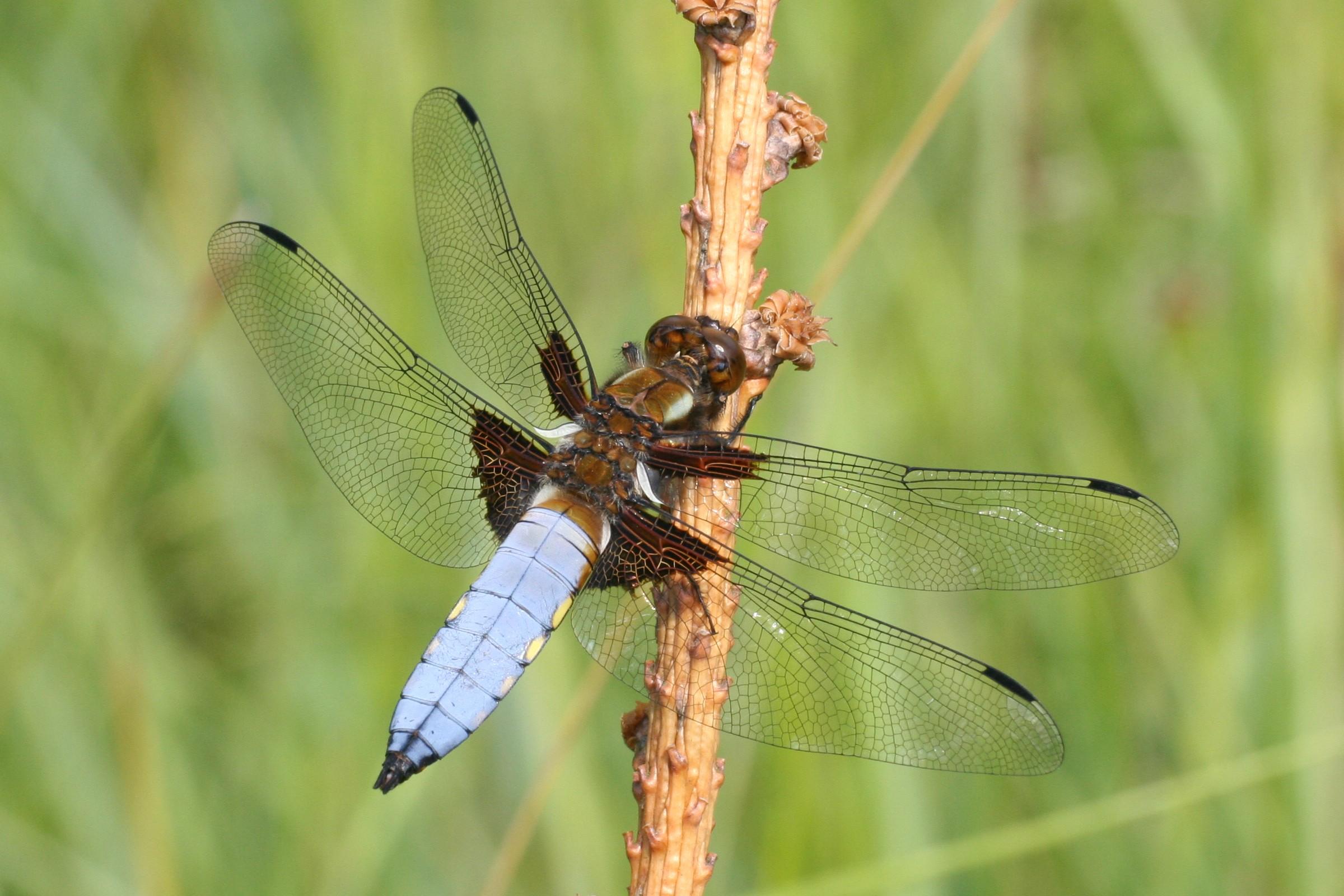File:Libellula depressa male Weinsberg 20080629 1.jpg - Wikimedia Commons