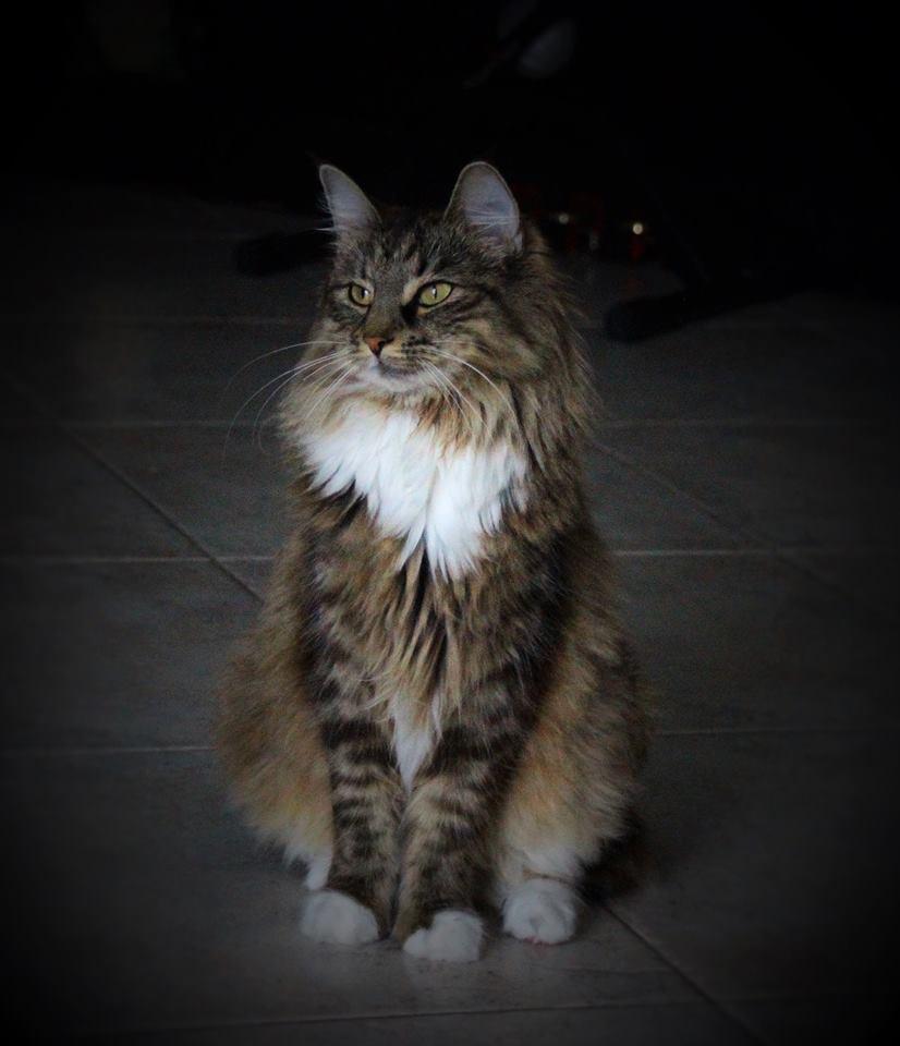 f668c7dc6d Norwegian Forest cat - Wikipedia