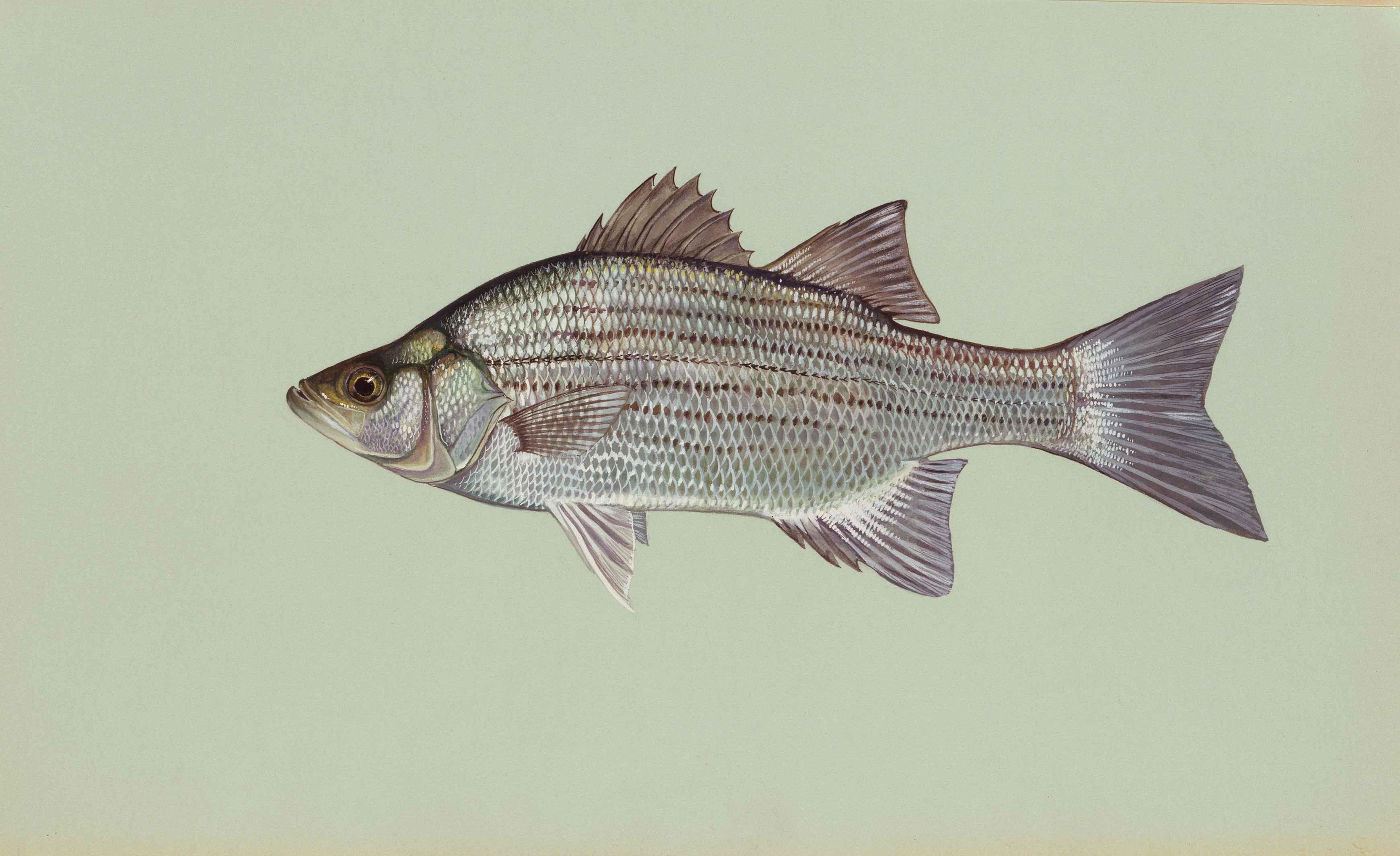 File Morone Chrysops White Bass Wikimedia Commons