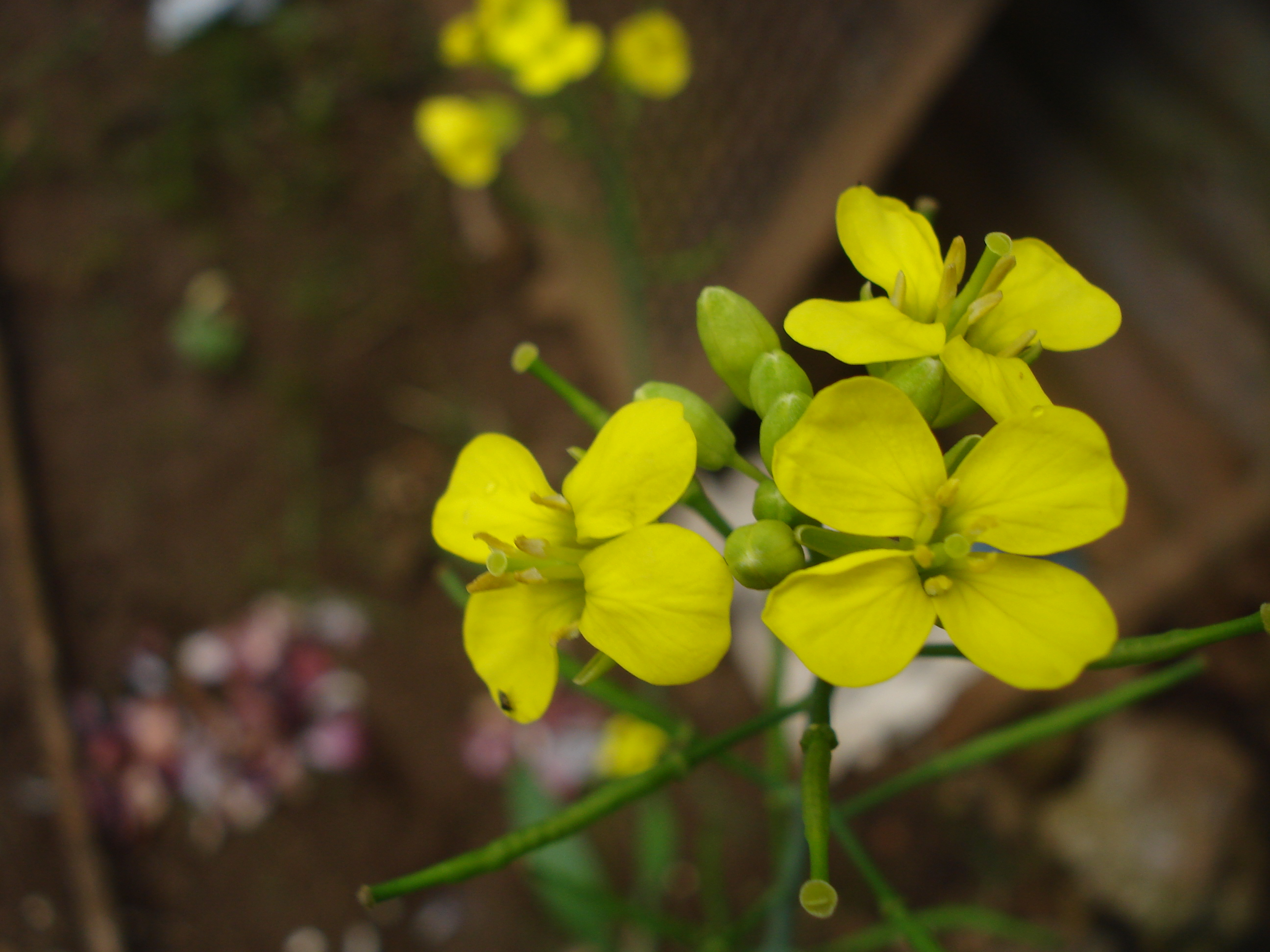 File Mustard Plant with flower Wikimedia mons