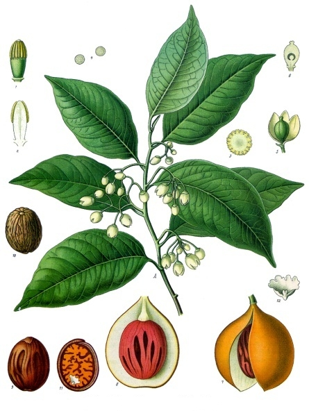 https://upload.wikimedia.org/wikipedia/commons/2/24/Myristica_fragrans_-_K%C3%B6hler%E2%80%93s_Medizinal-Pflanzen-097.jpg
