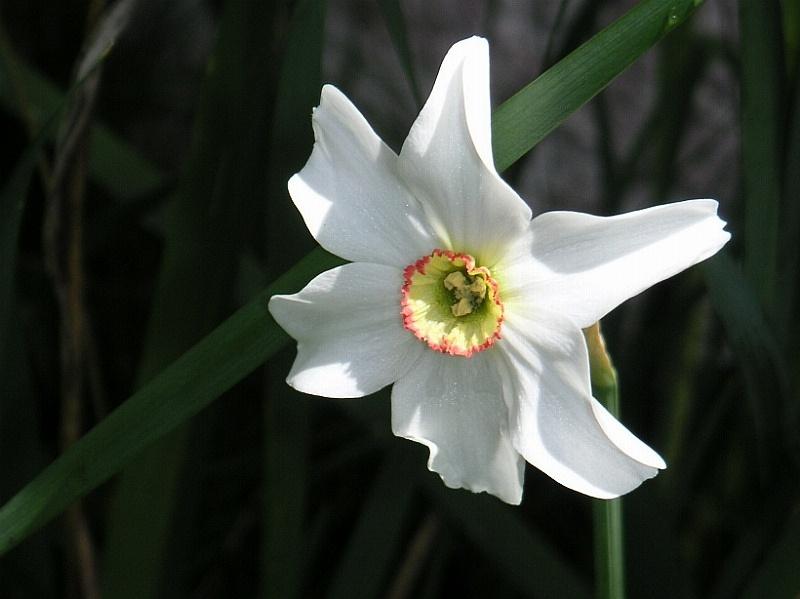 File:Narcissus poeticus.jpg