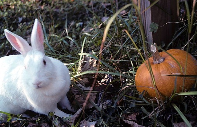 New Zealand White pet rabbit. Image by Gb1. From Wikimedia Commons, the free media repository.
