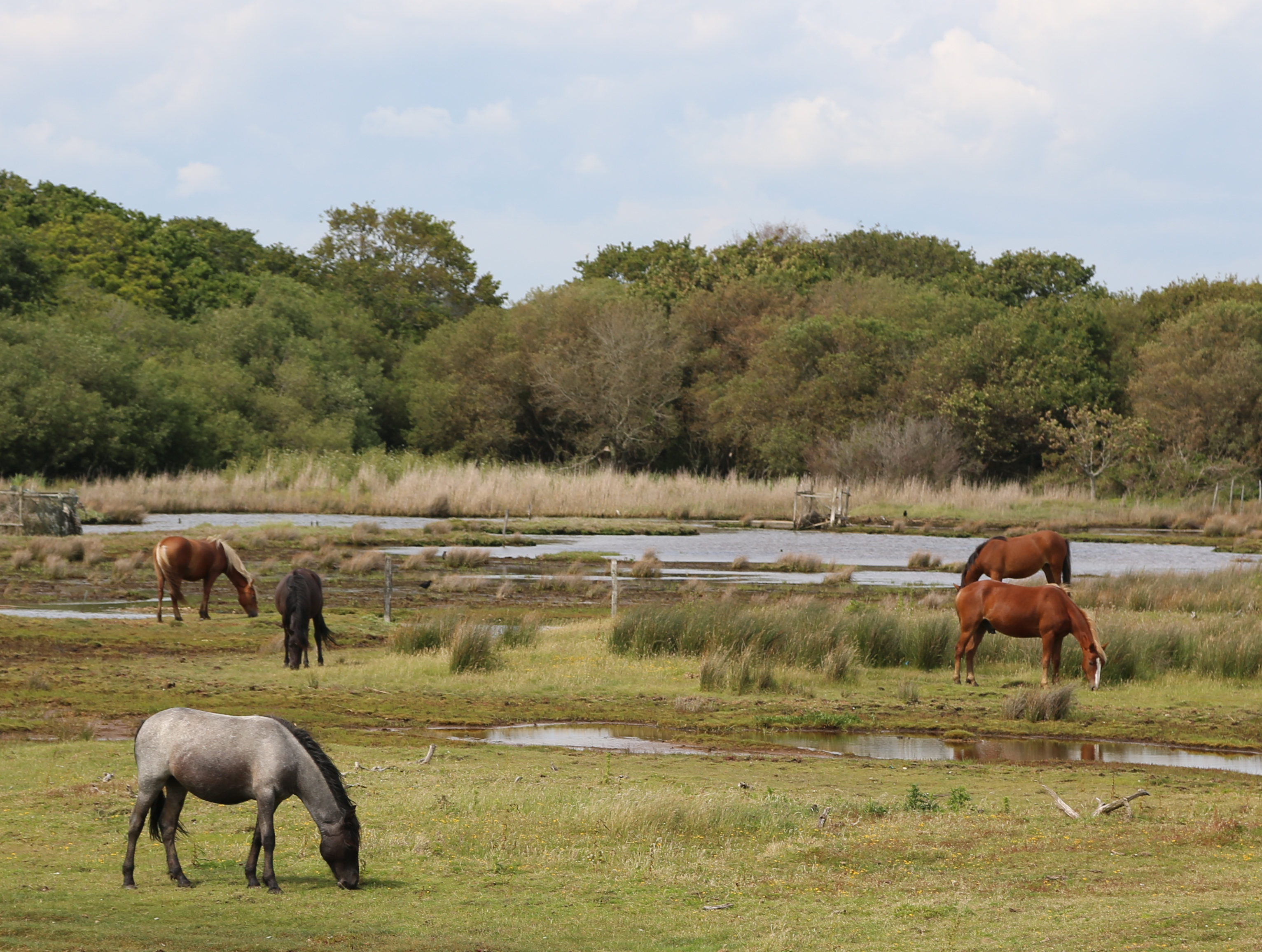 New forest ponies new forest pony