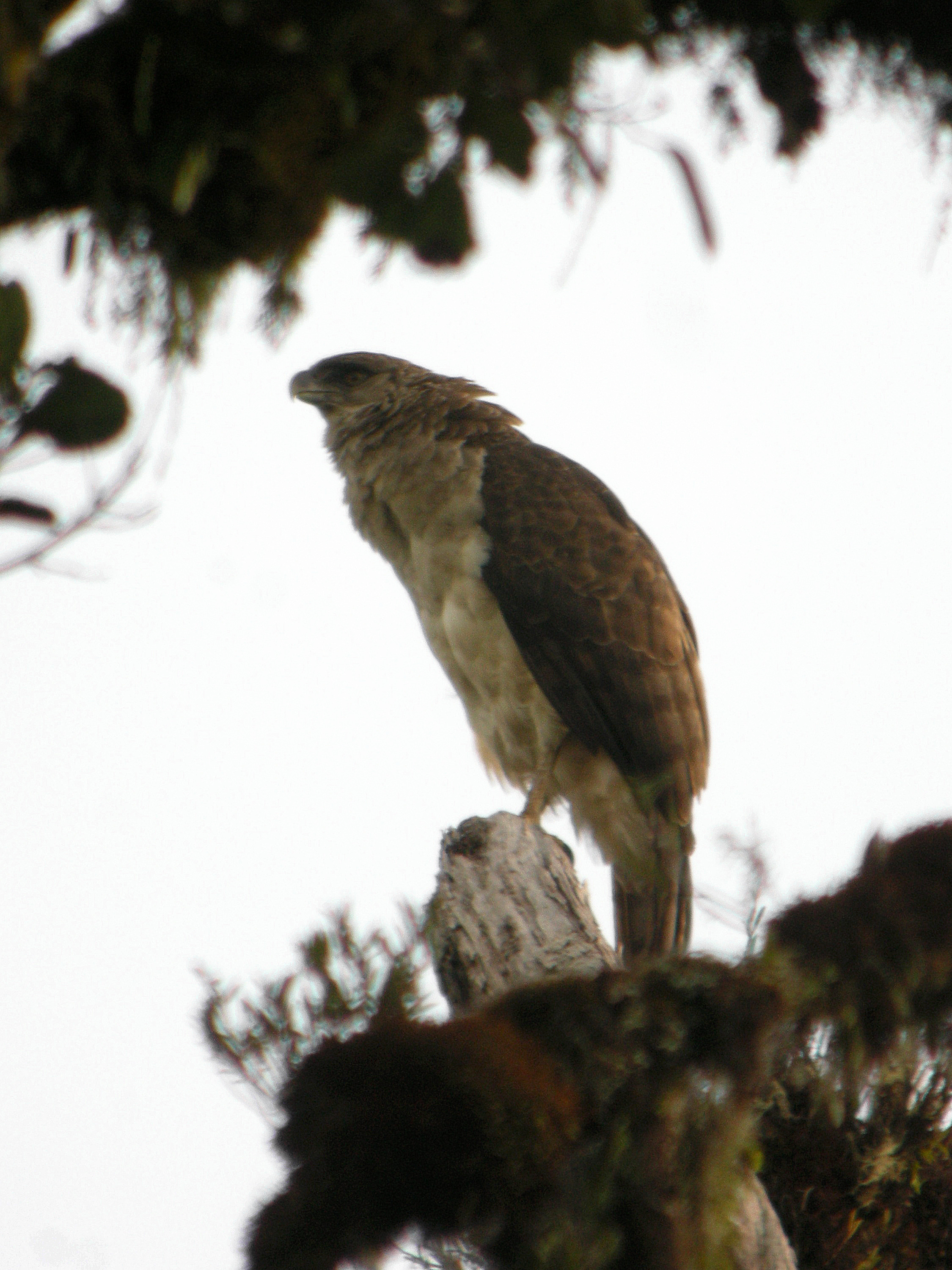https://upload.wikimedia.org/wikipedia/commons/2/24/New_Guinea_Eagle.jpg