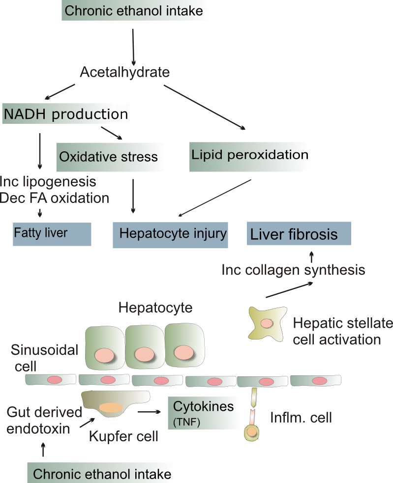 Flow Chart Parts: Alcoholic liver disease - Wikipedia,Chart