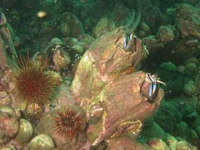 <i>Austromegabalanus psittacus</i> species of crustacean