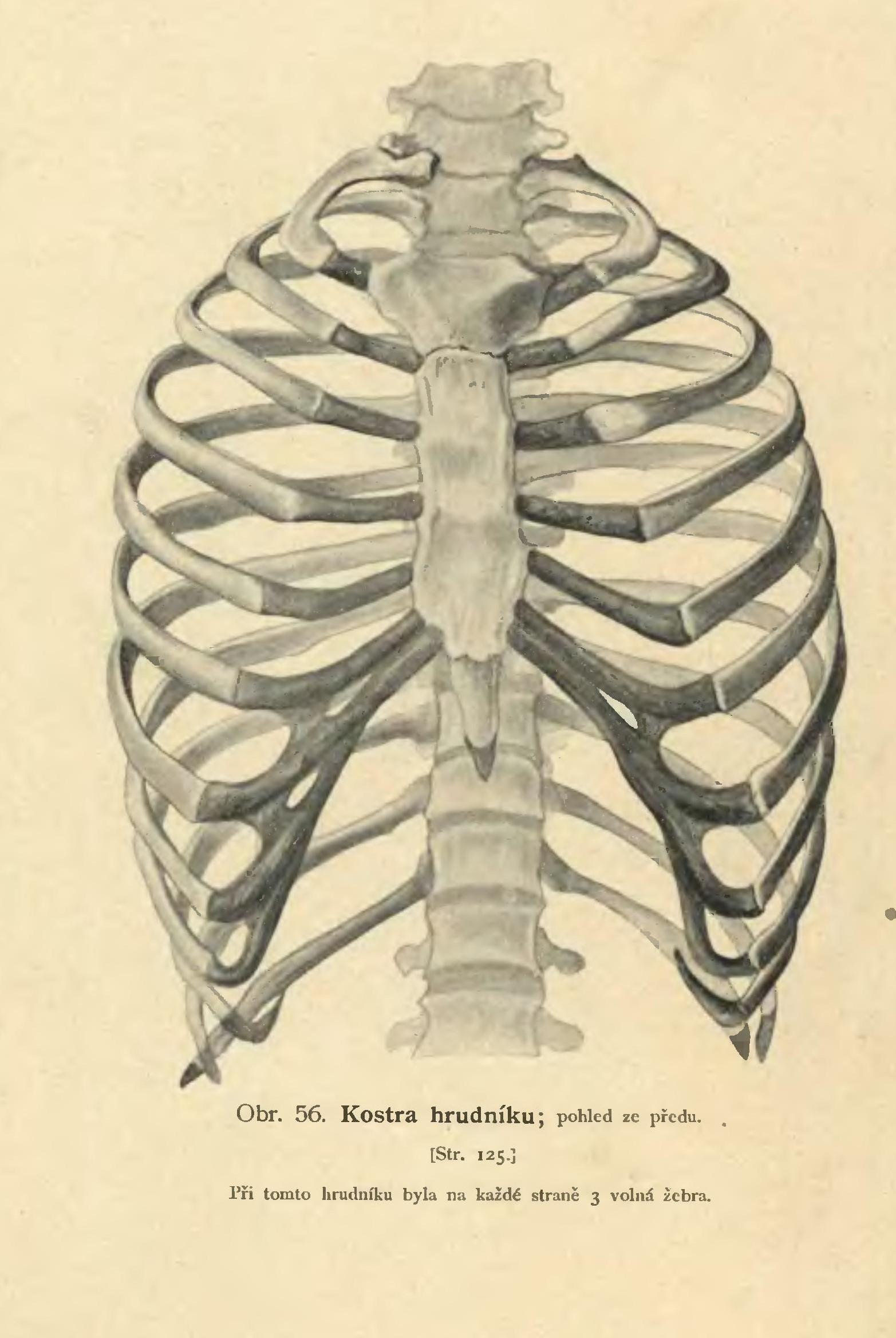 Filerejsek Human Rib Cageg Wikimedia Commons