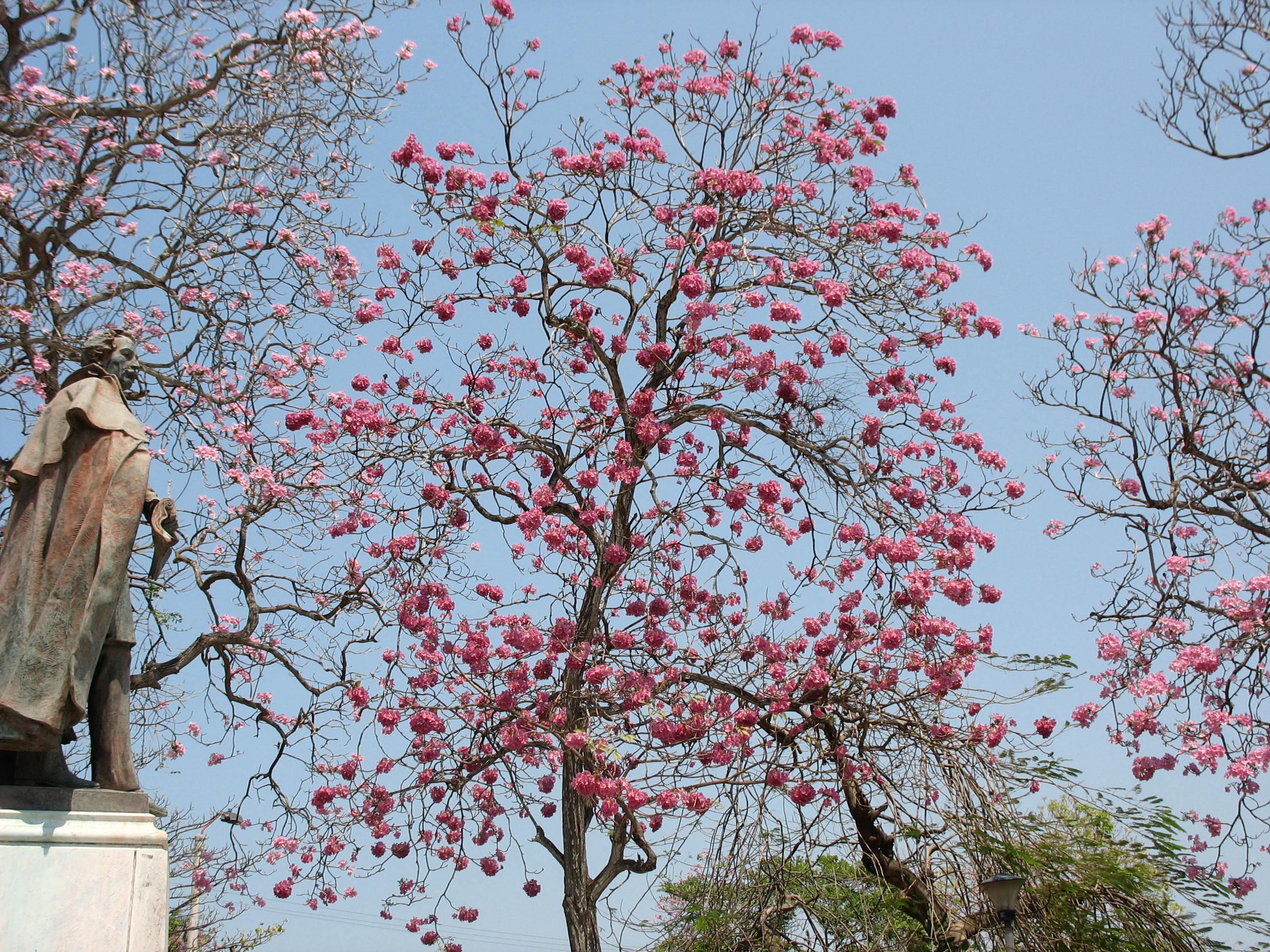 El cultivo del roble de sabana tabebuia rosea biota panama for Especies ornamentales