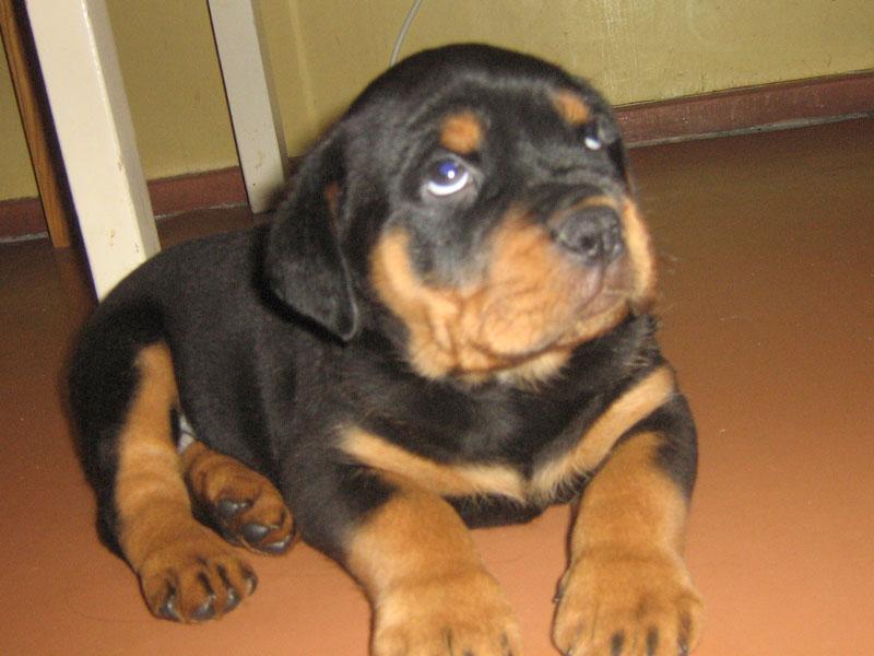 Dog Rottweiler Puppy For Sale