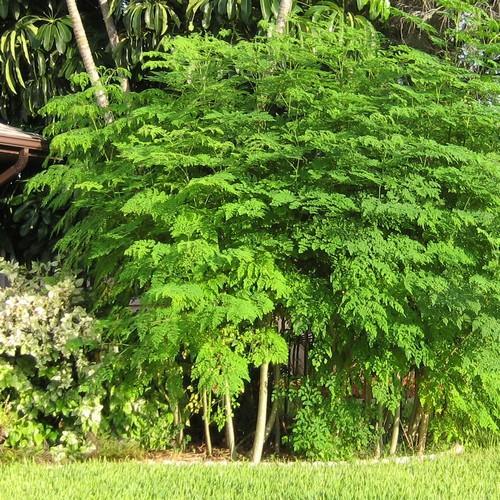 Benefits of the moringa to a body