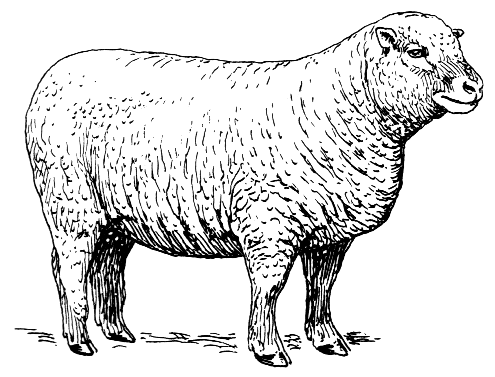 Line Drawing Images Of Sheep : File sheep psf wikimedia commons