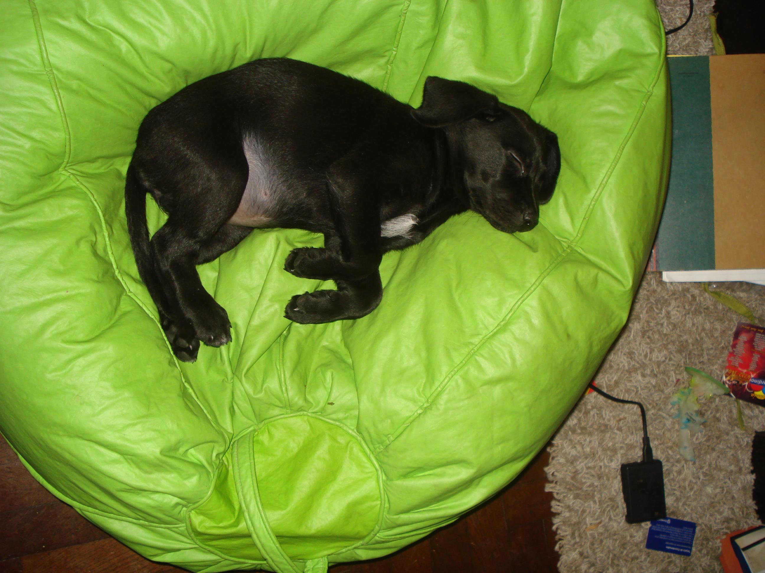 Black dog lying on back - photo#13
