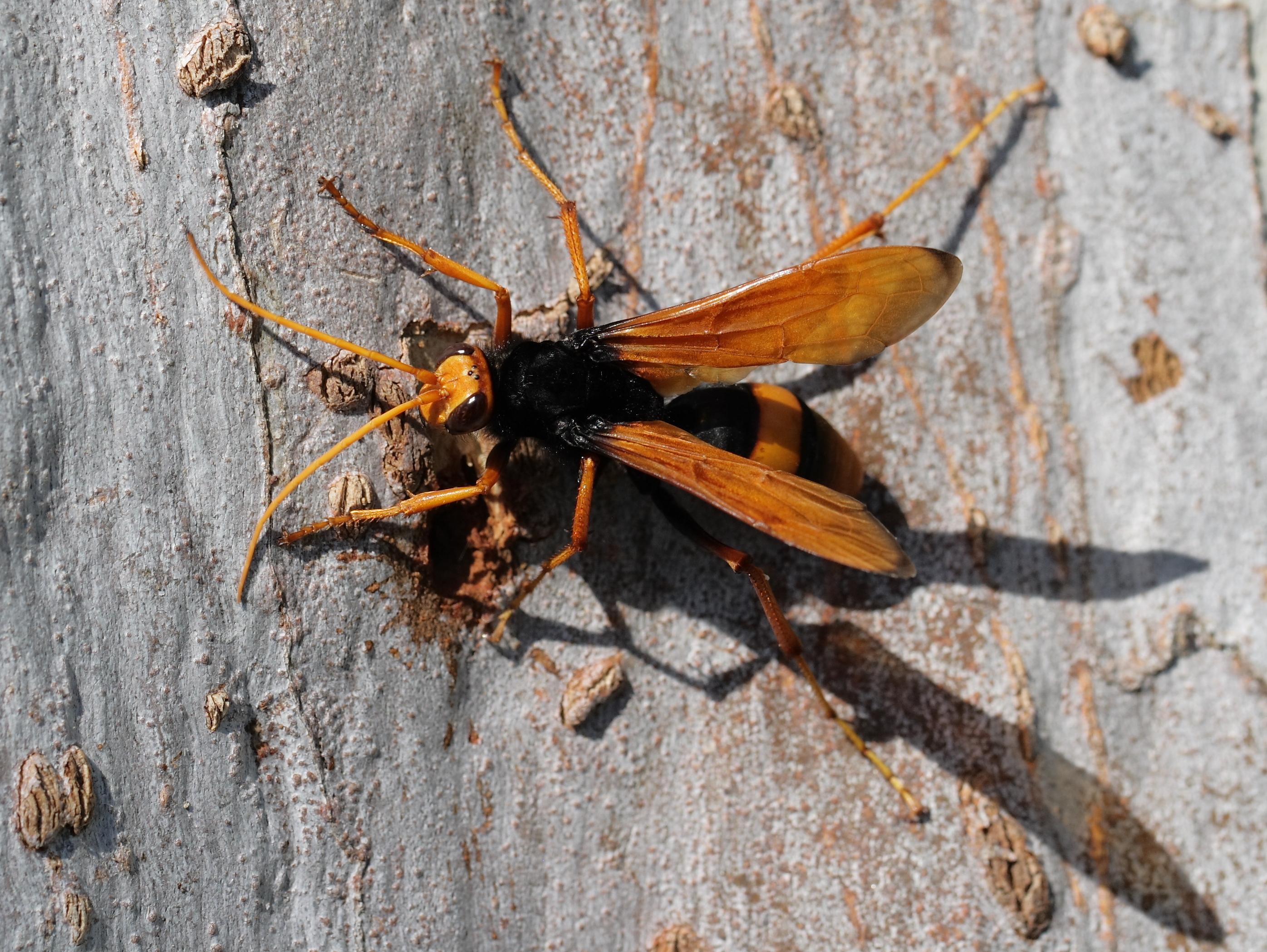 Australian spider wasp