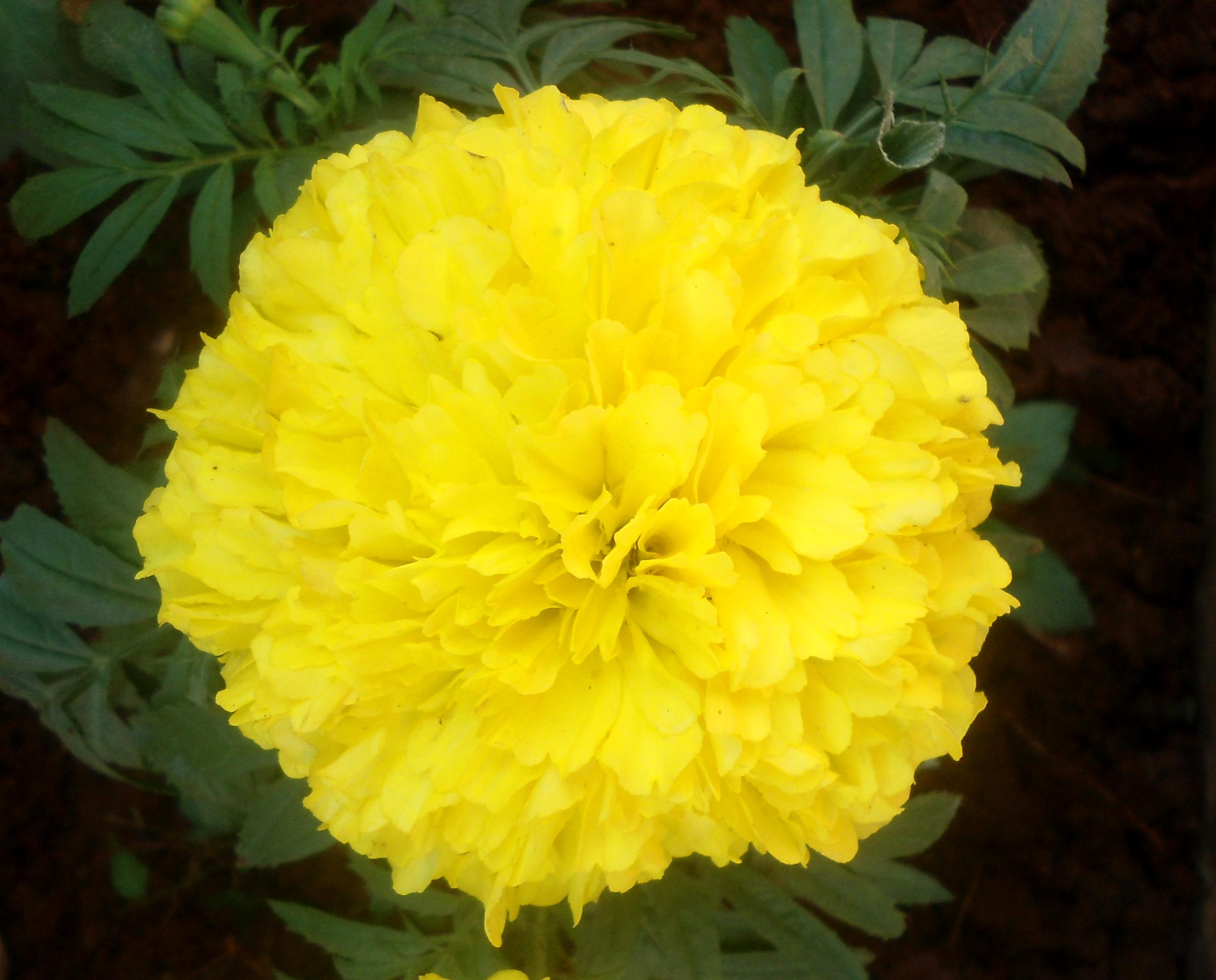 filetagetes erecta marigold flower at madhurawada, Natural flower