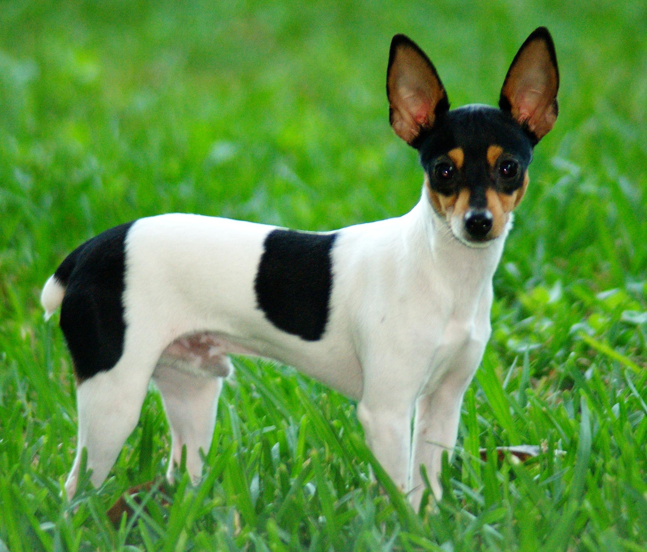 Toy Fox Terrier Wikipedia