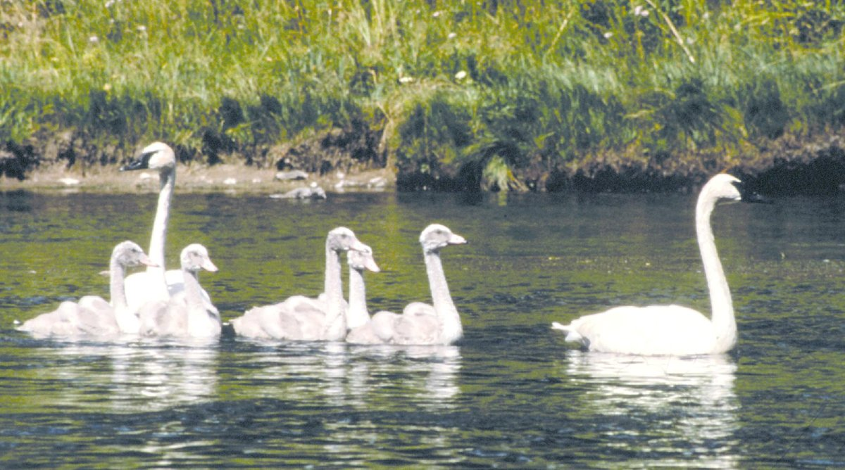 Trumpeter_Swans_in_Grand_Teton_NP-NPS