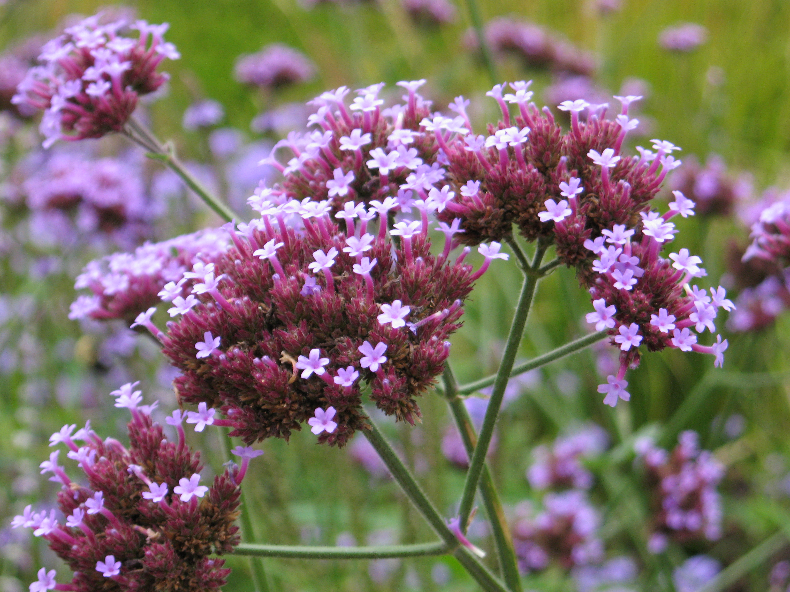 File verbena bonariensis 1 jpg wikimedia commons - Planter de la verveine ...