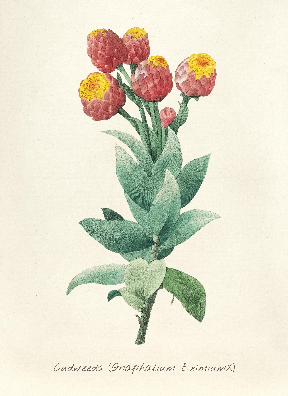 File:Vintage Flower illustration by Pierre-Joseph Redouté ...