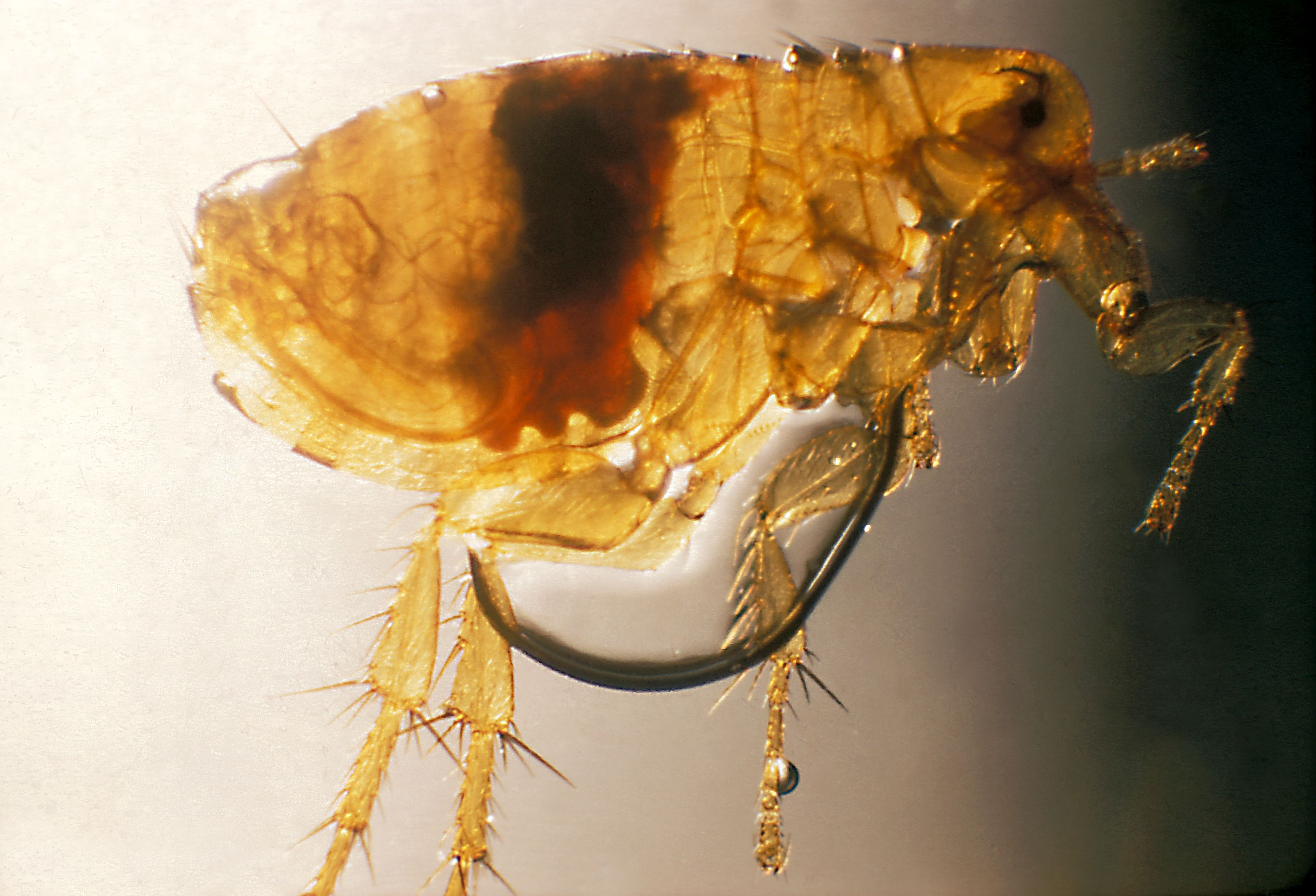 Oriental Rat Flea Wikipedia