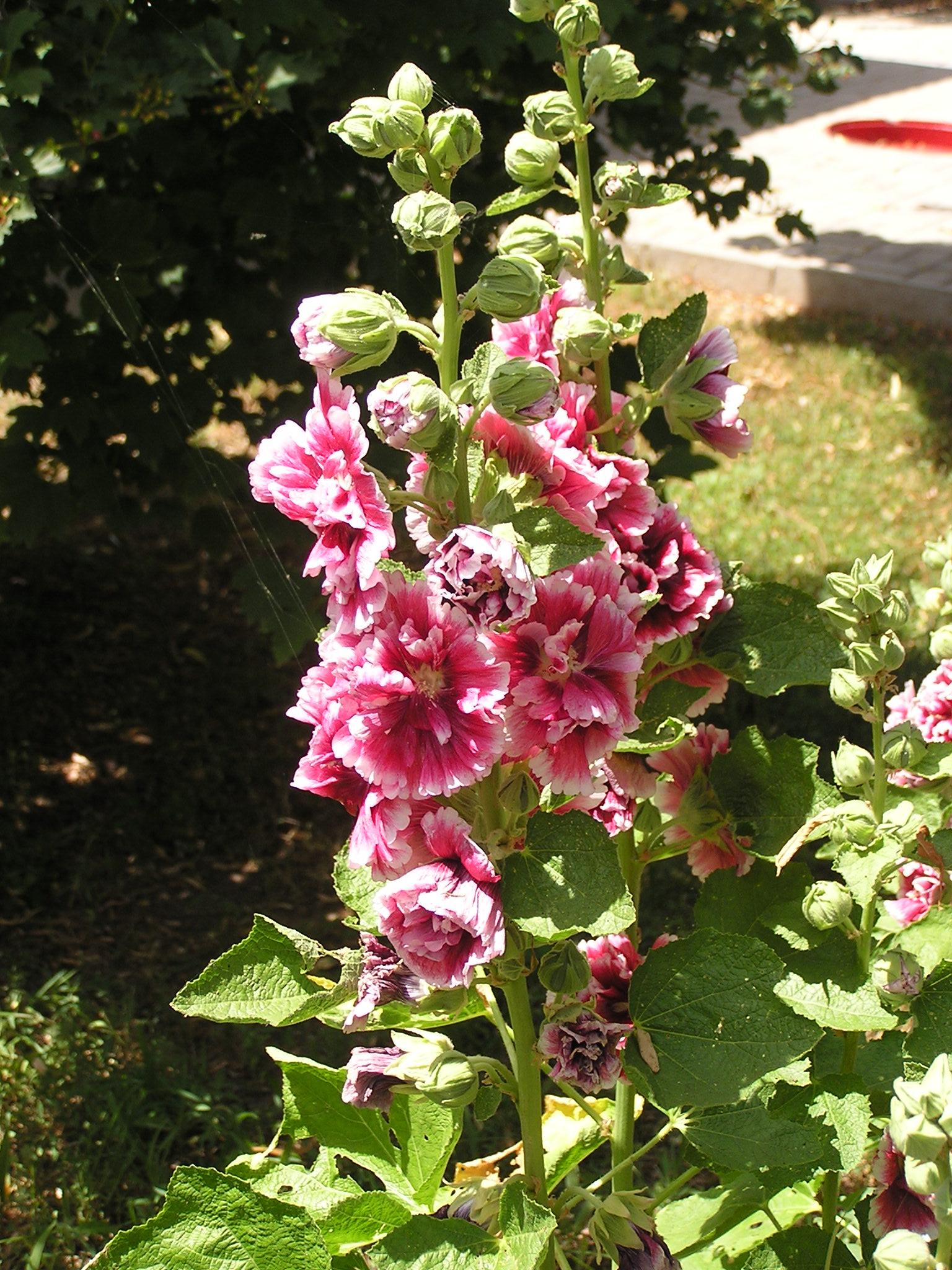 File alcea rosea in sedovo wikimedia commons for Alcea rosea