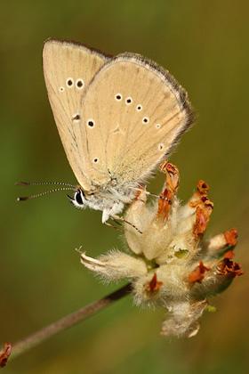 Sưu tập Bộ cánh vảy 3 - Page 42 Aosta-esparcetteblauwtje-polyommatus-humedasae-piedmont-anomalous-blue