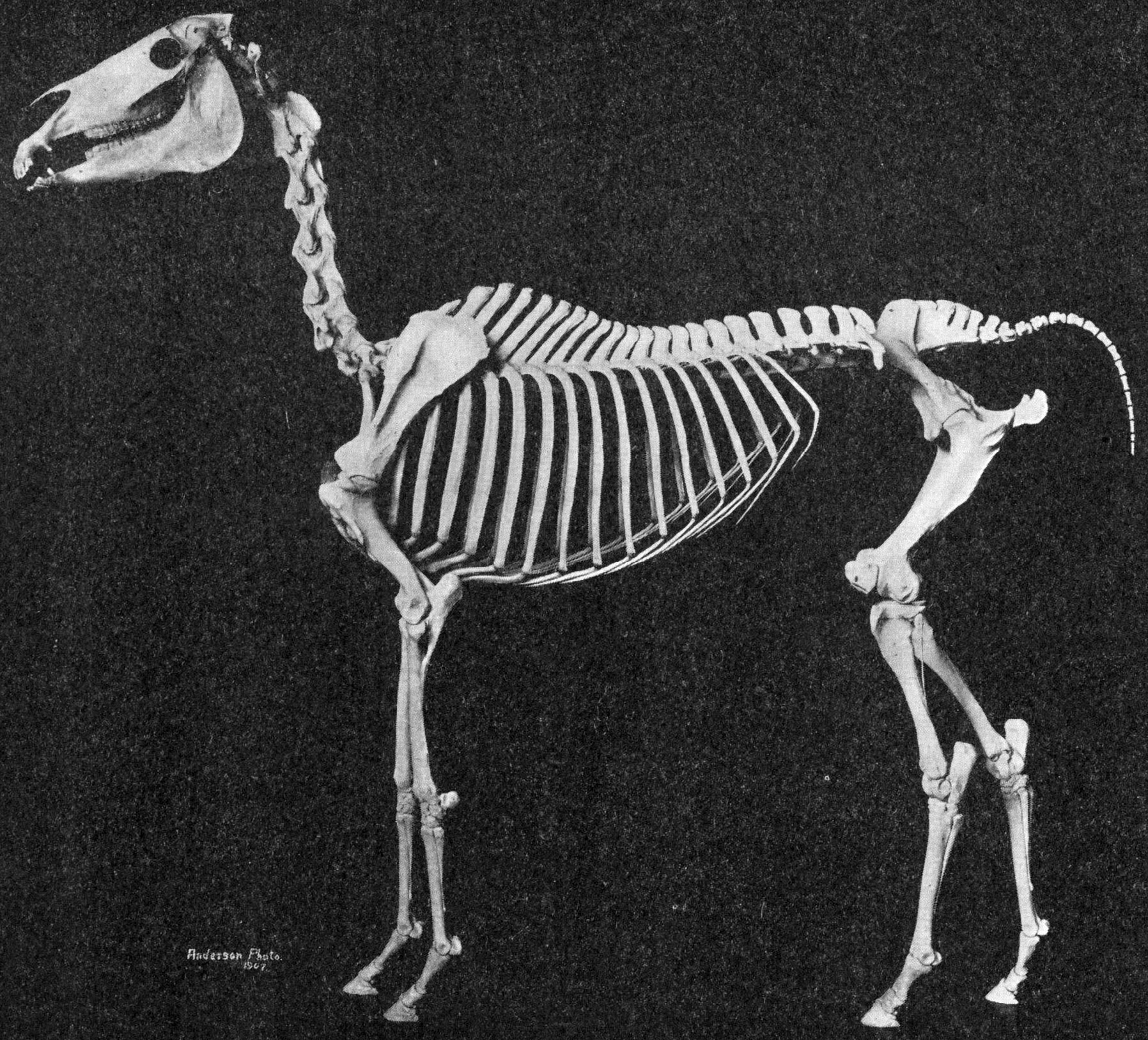 Description Arabian horse skeleton.jpg