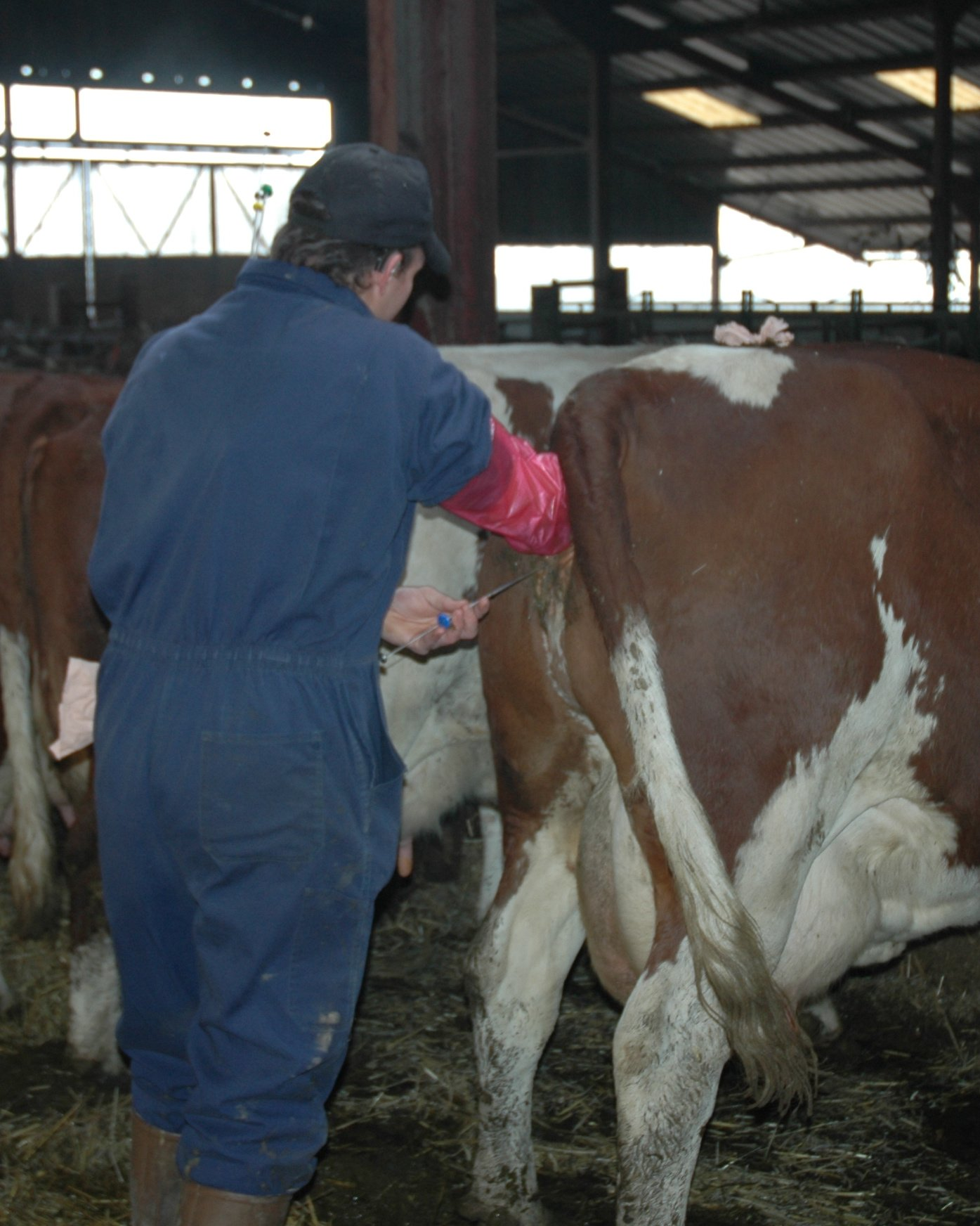 Artificial Insemination Of Cows http://fy.wikipedia.org/wiki/Ofbyld:Artificial_insemination_of_a_dairy_cow.jpg