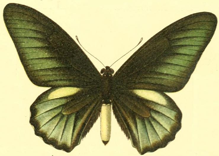 File:Battus belus.JPG