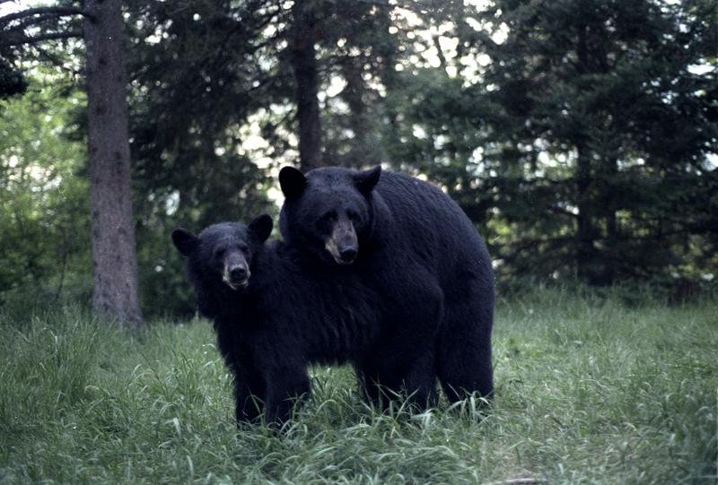File:Black Bears mating.jpg