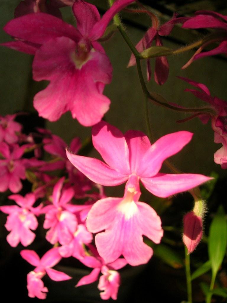 Calanthe rubens - Wikipedia