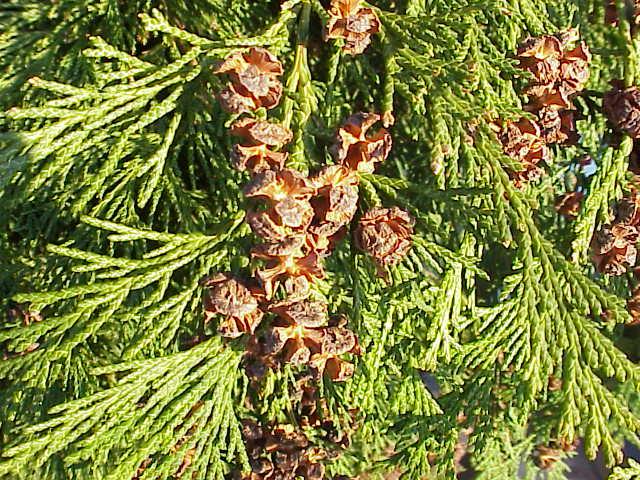 cône et feuilles du cyprès de lawson