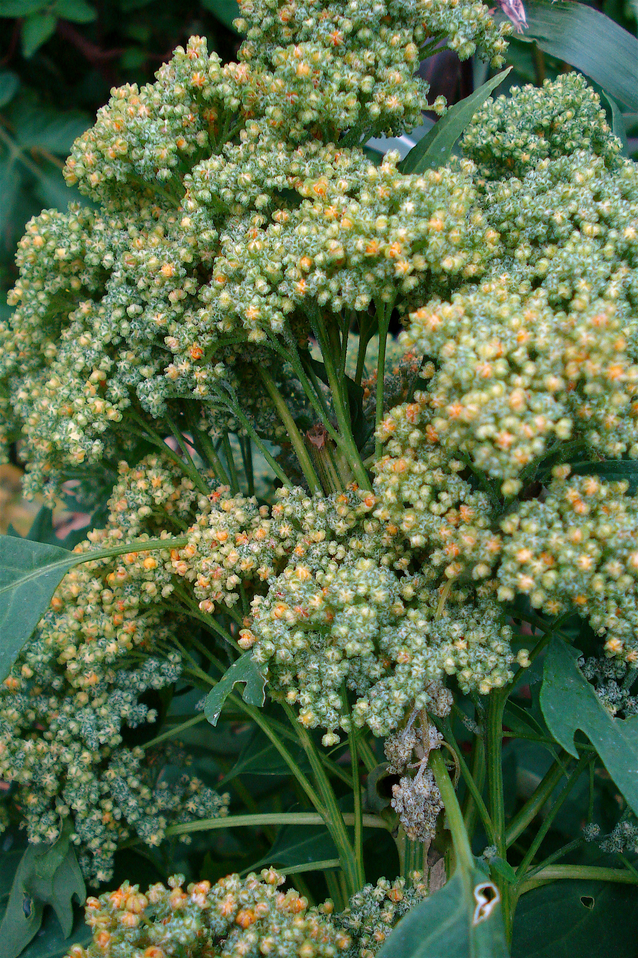Description chenopodium quinoa before flowering