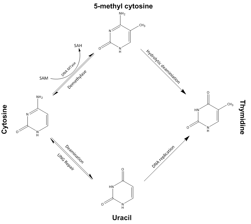 Sadenosylmethionine metabolism and DNA methylation in