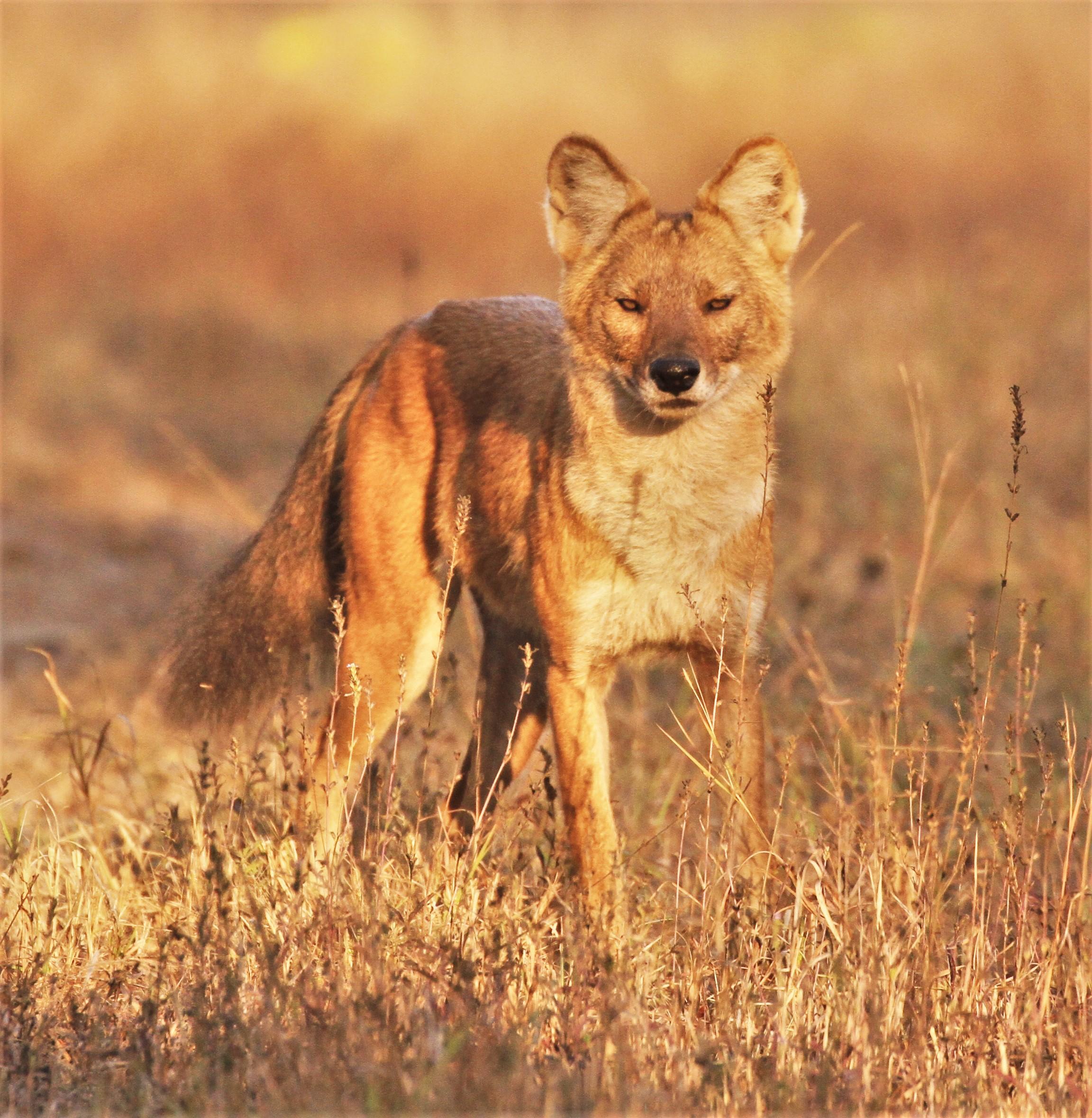 Красный волк и описание для детей 99