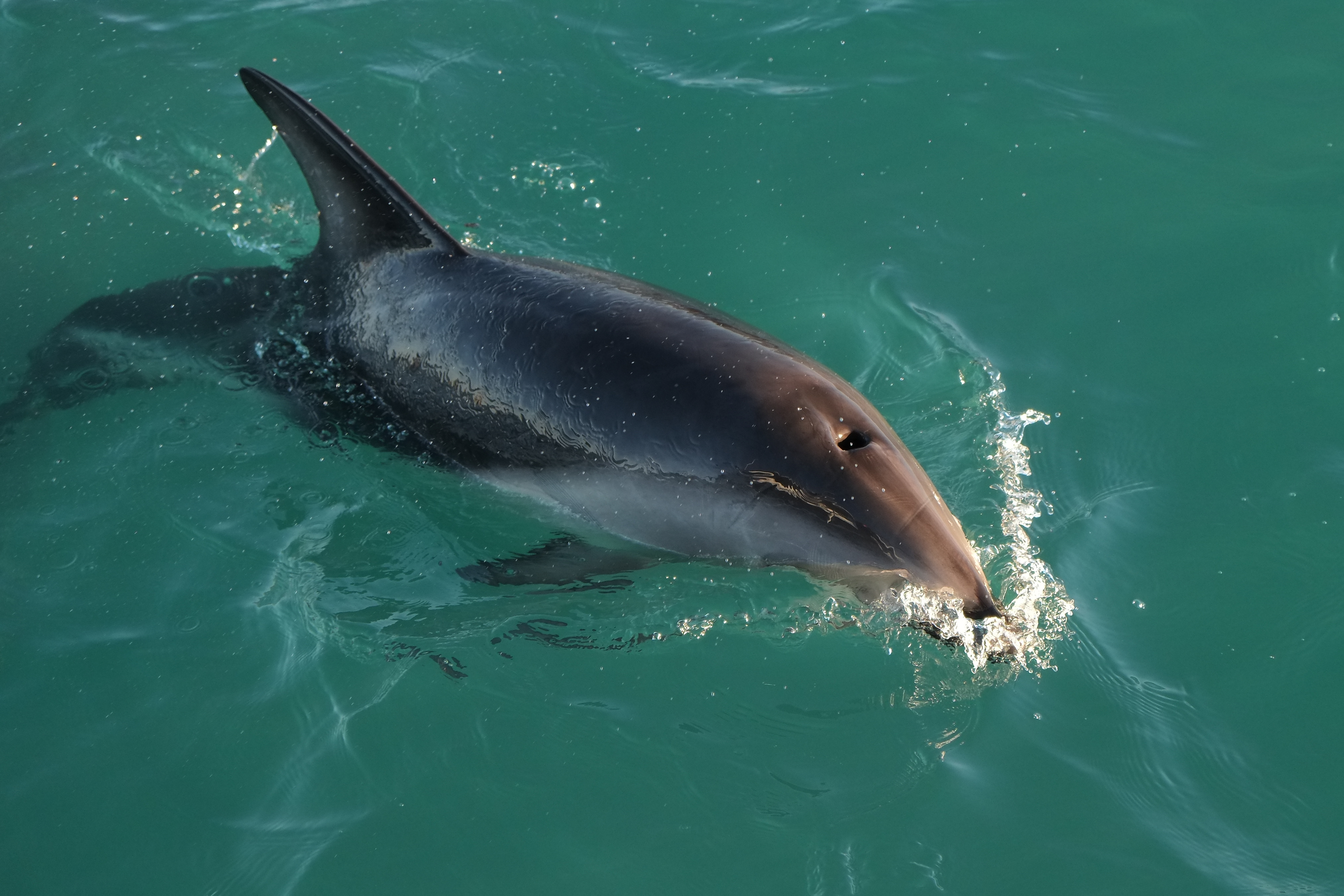 a description of the bottlenose dolphin and its abilities Commonly seen in aquariums, sea parks, tv shows, and movies, the bottlenose dolphin is a wildly recognizable cetacean (marine mammal) in the wild, bottlenose.