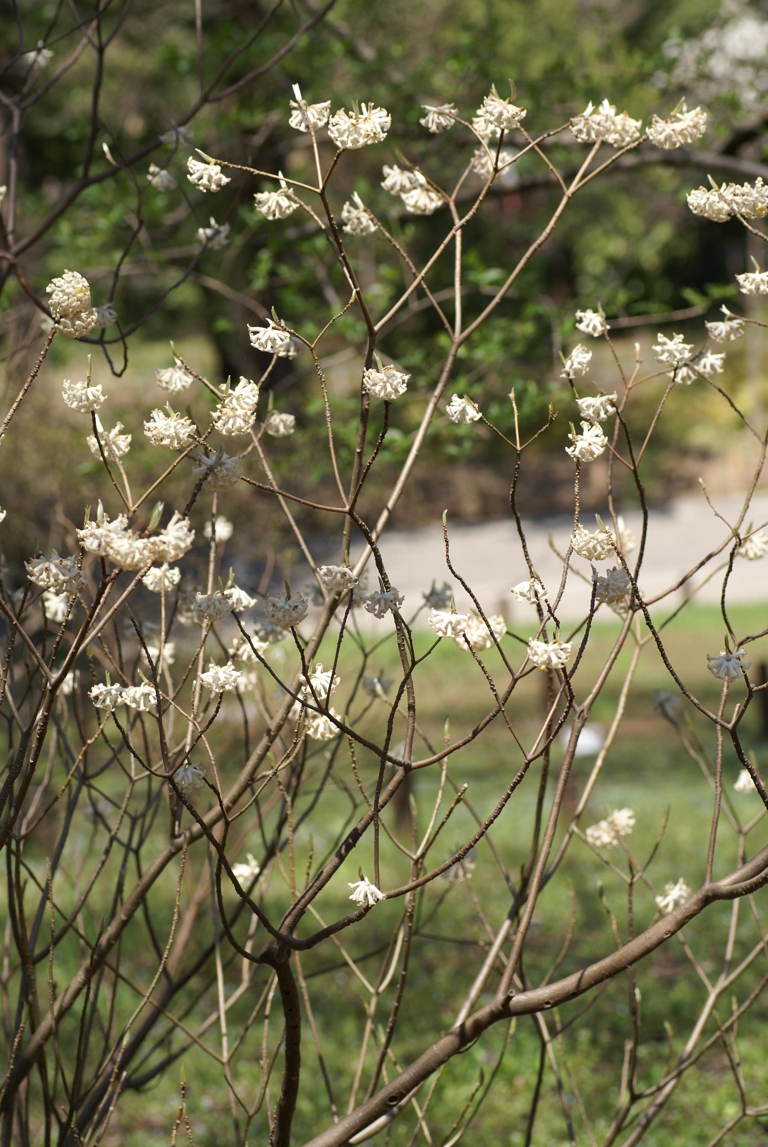File edgeworthia chrysantha b jpg wikimedia commons for Edgeworthia chrysantha