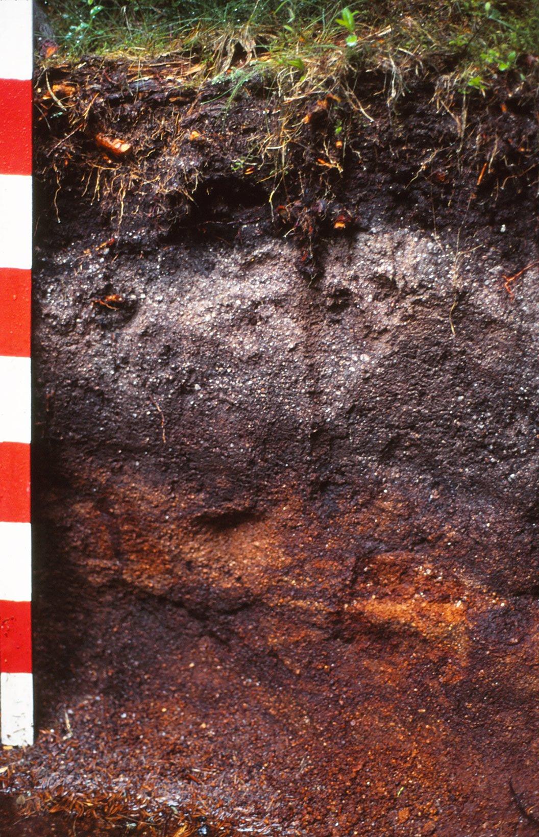 Profil glebowy, autor: U. Burkhardt, źródło: https://pl.wikipedia.org/wiki/Plik:Eisenhumuspodsol.jpg