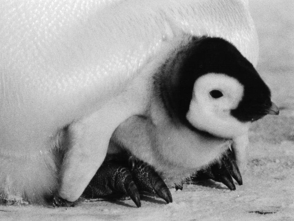 File:EmperorPenguinChick.jpg - Wikimedia Commons