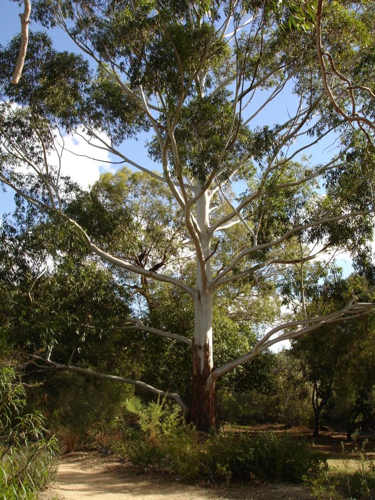 eucalyptus grandis.jpg