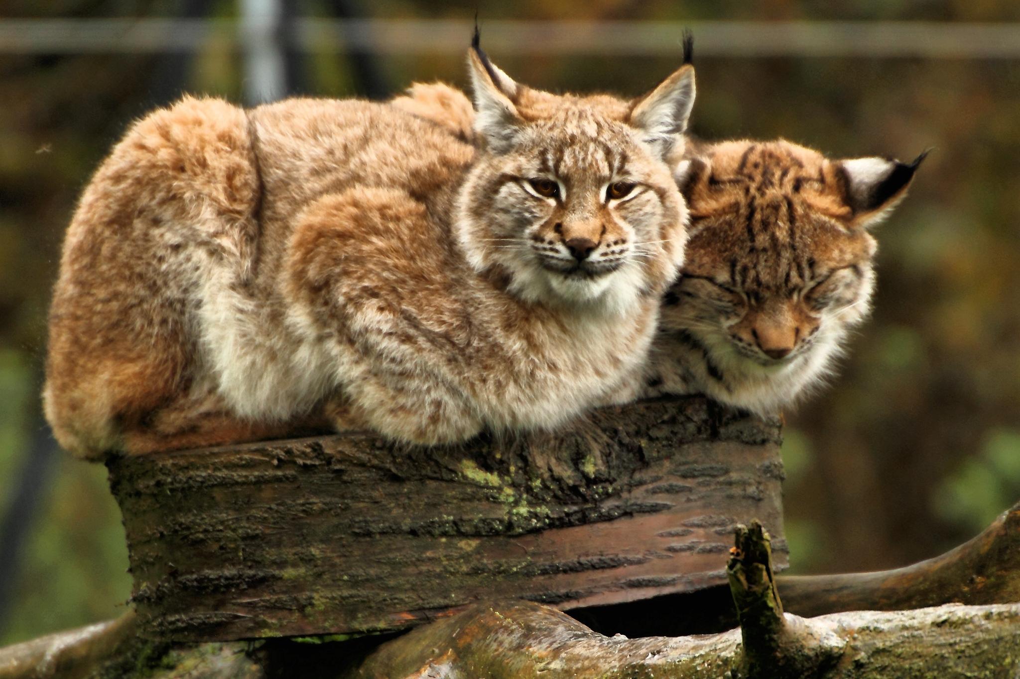 European Lynx in Terra Natura Murcia