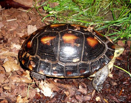 Cuora flavomarginata, the Chinese box turtle. A dome-shelled, dark-colored turtle with burnt orange spots.
